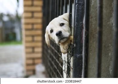 Young Labrador retriever puppy