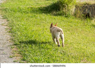 A young Labrador Retriever puppy running away through a park with his ears flying up.
