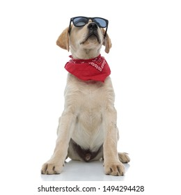 young labrador retriever puppy wearing sunglasses and red bandana looks up at something on white background