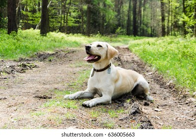 Young labrador retriever While walking in the woods