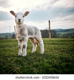 A young lamb born in the Yorkshire UK stands in a field on a farm in the Yorkshire Dales.