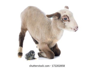 young lamb and chick  in front of white background