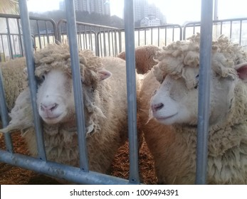 Young lamb sheep resting in a pen on a farm pen for public presentation at Muslims Eid Al-Adha festival