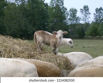 Young Lambs at play on bale of hay Katahdin Lambs