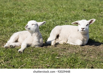 Young lambs in the sun