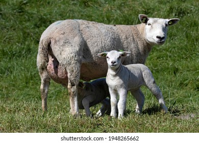 Young lambs with their mother in the spring