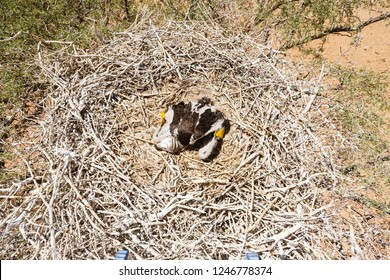 Young lappet-faced vulture in Nest, Jungtier, Namib Desert, Namib-Naukluft-Nationalpark