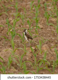 Young Lapwing (Vanellus vanellus) in the field