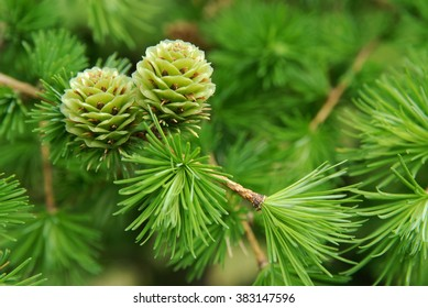 young larch cones, larch tree