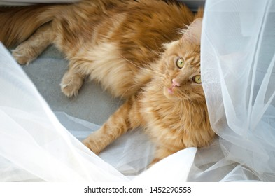A young large red marble Maine coon cat lies on a white curtains against a window in sunlight