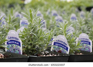 Young lavender plants lined up in rows in greenhouse
