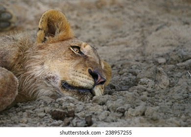 Young Lazy Lion