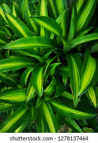 Young leaf growth of Dracaena fragrans in the garden.