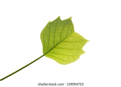 Young leaf of tulip tree on a white background