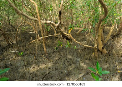 young leaves and aerial roots Avicennia alba in a mangrove forest