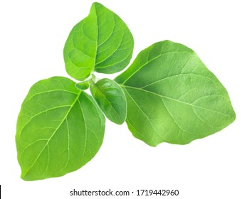 Junge Blätter von Ashwagandha (Somnifera), einzeln