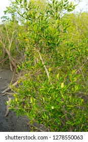 Young leaves of Avicennia alba in a mangrove forest