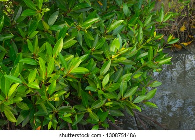 Young leaves of Avicennia marina in a mangrove forest