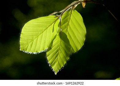 Young leaves of beech tree Fagus silvatica in spring