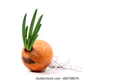 young leaves germinating of Onion  isolated on white background