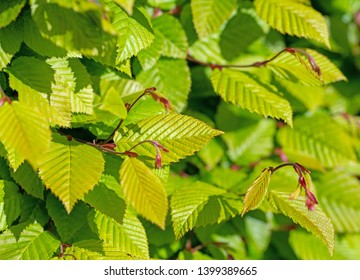 Young leaves of hornbeam in spring