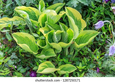 Young leaves hosta in spring close-up surrounded by other plants. Hosta, Funkia, plantain lilies in the garden. Close-up green leaves with light border background