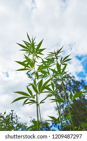 Young leaves of marijuana on sky background