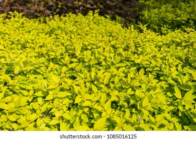 Young leaves on a wild bush blooming in the sunlight