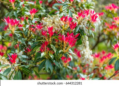 The young leaves of a Pieris japonica bush in spring are typically brightly red coloured.