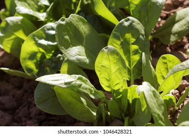 Young leaves of spinach.Sprouts spinach growing in garden. Green shoots. Young greens for salad