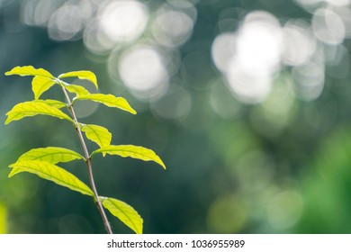 The young leaves of the tree at the end of the branches. The back of the tree is green. Photographs are blurred. The back ground is a beautiful bokeh.