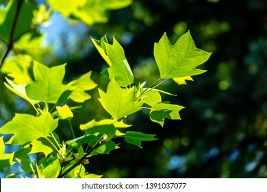 Young leaves of Tulip tree (Liriodendron tulipifera), called Tuliptree, American Tulip Tree, Tulip Poplar, Yellow Poplar, Whitewood on blurred green garden background. Selective focus