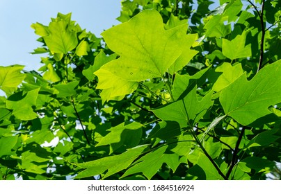 Young leaves of Tulip tree (Liriodendron tulipifera), called Tuliptree, American Tulip Tree, Tulip Poplar, Yellow Poplar, Whitewood on background of clear blue sky. Selective focus.