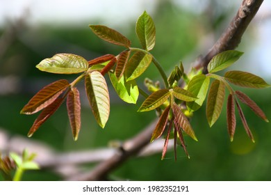 young leaves of walnut, close-up of leaves - Shutterstock ID 1982352191