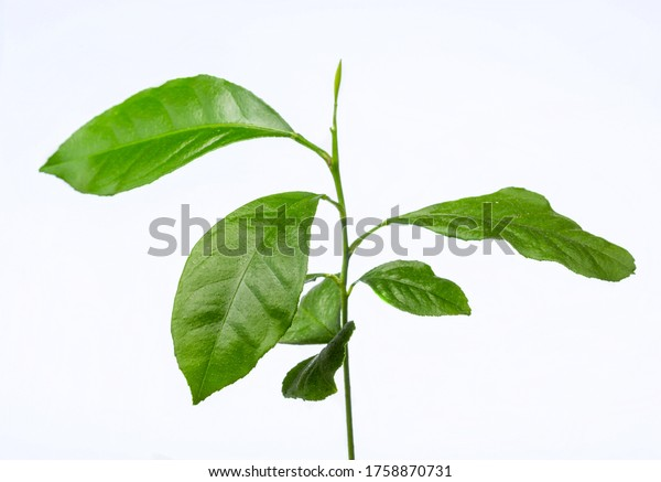 Young lemon seedling. Plant on a white background. Home grown citrus. Young leaves.