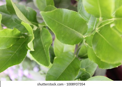 Young Lemon Tree Foliage