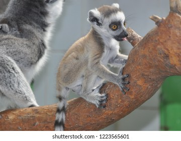 Young lemur on a tree