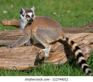 Young lemur sitting on a fallen trunk, on a lovely summer's day.