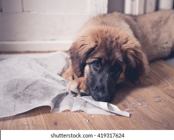 A young Leonberger puppy is lying with her face on her dirty and soiled training pad