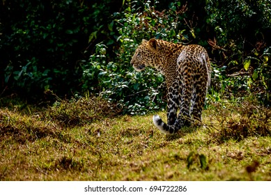 Young leopard in Aberdare National Park, Kenya
