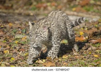young Leopard cub