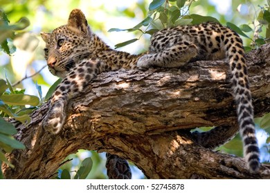 A young leopard cub lying in the tree tops