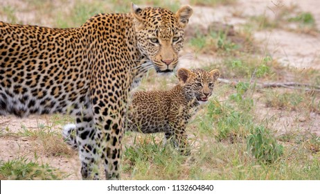 Young leopard cub walking with mother, African Wildlife