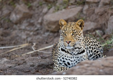 A young leopard male lying in a dry riverbed in one of Botswana's game reserves
