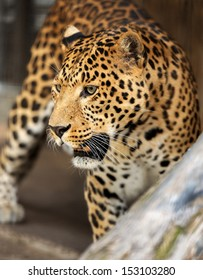 Young leopard on dark background