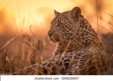 A young leopard (Panthera pardus) resting on a termite mound while the sun is setting behind it