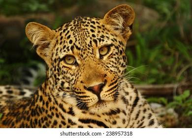 Young Leopard Portrait