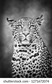 Young Leopard profile in black and while - Greater Kruger National Park - South Africa