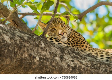 a young Leopard relaxes in a tree, Moremi Botswana