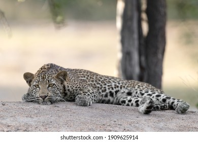 Young Leopard resting on top of a boulder